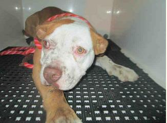 Dog ID #1683976 pictured on the County of San Diego Animal Services website.