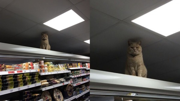 Cat_in_sainsburys