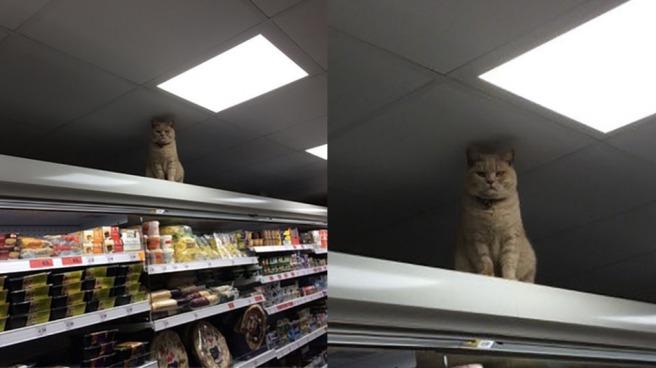 Cat_in_sainsburys