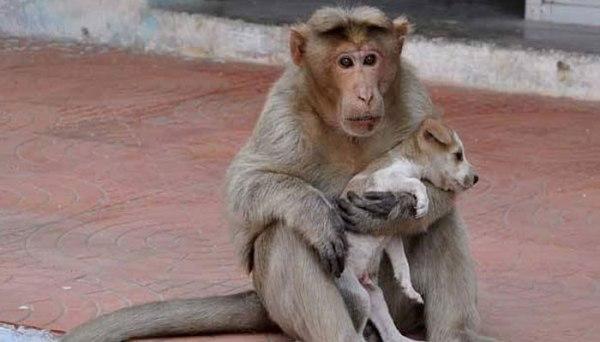 macaque puppy