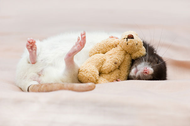 rats-with-teddy-bears-jessica-florence