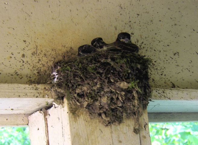 042816 baby birds