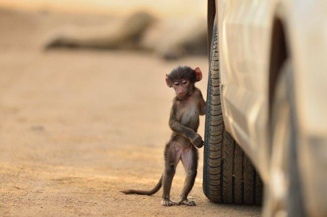 cat-5-adult-highly-commended-baby-baboon-oskan-ozmen
