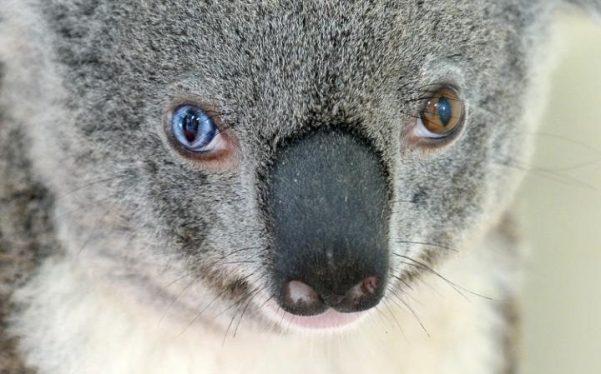 bowie-koala