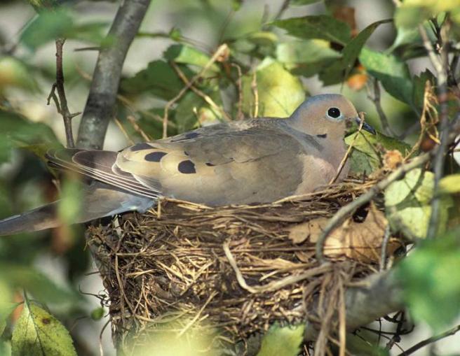 mourning_dove_on_nest