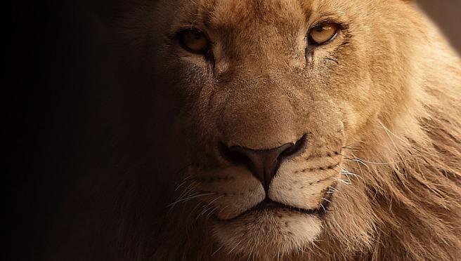 lion public domain image