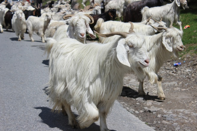 manali-himachal-goat-snow-rohtang