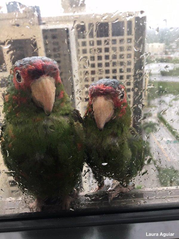 irma parrots